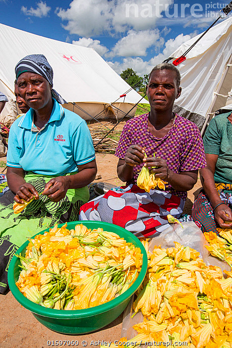 People displaced by the January 2015 flooding, preparing pumpkin flowers to eat, in Baani refugee camp near Phalombe, Malawi, March 2015.  ,  Malawi,Africa,Baani,refugee camp,flood,floods,flooding,displaced,charity,NGO,aid,female,black,African,disaster,disaster relief,climate change,global warming,refugee,poor,poverty,child,light,sunlight,boy,girl,woman,tent,sky,blue,cloud,colourful,yellow flower,pumpkin,pumpkin flower,food,food preparation,,,People,  ,  Ashley Cooper