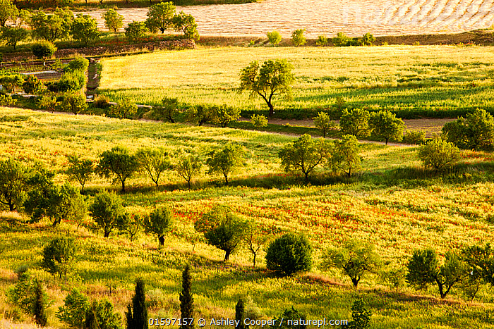 Traditional agriculture in evening light. with small fields growing cereal, interspersed with fruit trees, in La Calahorra, Andalucia, Spain, May 2011.  ,  Andalucia,Spain,agriculture,field,Sierra Nevada,La Calahorra,farm,farming,orchard,fruit,fruit tree,green,production,food,crop,network,pattern,laid out,boundaries,Spring,mountain,harvest,grass,flower,red,Poppy,wild flowers,verge,field edge,nature,Summer,tree,straw,evening,sunlight,warm,glow,habitat,traditional,field boundary,Landscape,,, catalogue11  ,  Ashley Cooper