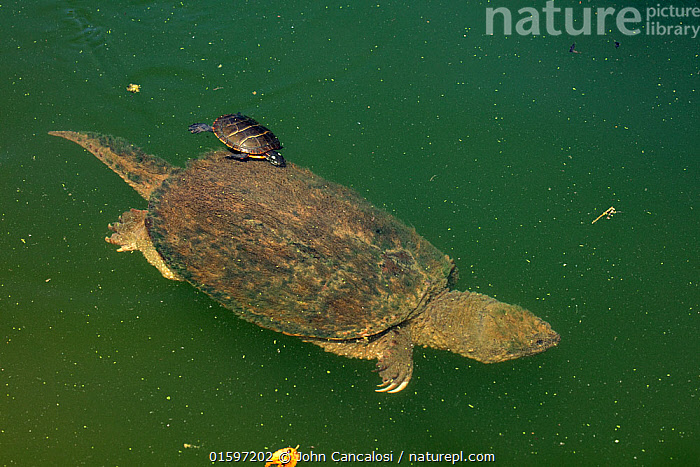 Painted turtle (Chrysemys picta) eating algae off the carapace of a Snapping turtle (Chelydra serpentina) Maryland, USA, August.  ,  Animal,Wildlife,Vertebrate,Reptile,Testitudine,Snapping turtles,Snapping turtle,Pond Turtles,Painted Turtle,American,Animalia,Animal,Wildlife,Vertebrate,Reptilia,Reptile,Chelonii,Testitudine,Chelydridae,Snapping turtles,Turtle,Chelydra,Chelydra serpentina,Snapping turtle,Testudo serpentina,Testudo serpentaria,Emydidae,Pond Turtles,Marsh turtles,Chrysemys,Chrysemys picta,Painted Turtle,Grooming,North America,USA,Southern USA,Maryland,Animal Behaviour,Feeding,Mixed species,American,United States of America,  ,  John Cancalosi