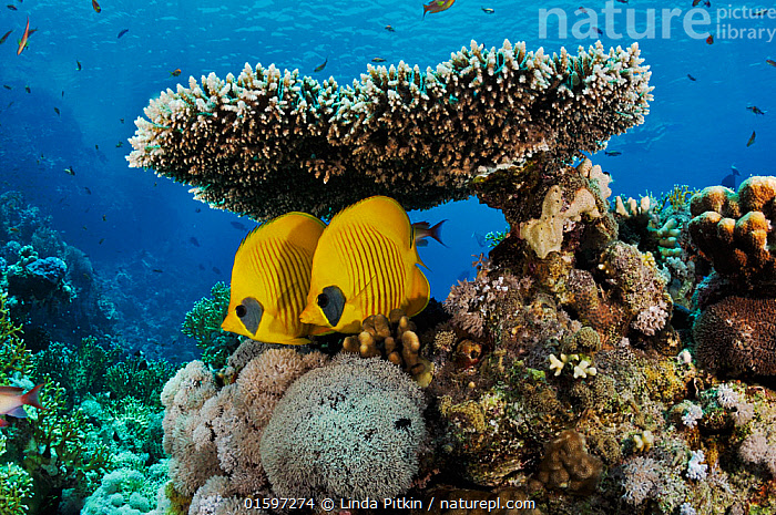 Masked butterflyfish (Chaetodon semilarvatus), pair sheltering under table coral (Acropora) Shark Reef to Jolande, Ras Mohammed National Park, Egypt, Red Sea.  ,  Animal,Wildlife,Cnidarian,Anthrozoan,Hard coral,Coral,Acropora coral,Vertebrate,Ray-finned fish,Percomorphi,Butterflyfish,Addis Butterflyfish,Animalia,Animal,Wildlife,Cnidaria,Cnidarian,Coelentrerata,Anthozoa,Anthrozoan,Scleractinia,Hard coral,Acroporidae,Coral,Acropora,Acropora coral,Vertebrate,Actinopterygii,Ray-finned fish,Osteichthyes,Bony fish,Fish,Perciformes,Percomorphi,Acanthopteri,Chaetodontidae,Butterflyfish,Chaetodon,Chaetodon semilarvatus,Addis Butterflyfish,Bluecheek Butterflyfish,Golden Butterflyfish,Redlined Butterflyfish,Yellow Butterflyfish,Chaetodon melanopoma,Two,Africa,North Africa,Northern Africa,Egypt,Tropical,Reef,Reefs,Coral Reef,Coral Reefs,Red Sea,Marine,Underwater,Water,Reserve,Saltwater,Sea,Protected area,National Park,Invertebrate,Invertebrates,Marine  ,  Linda Pitkin