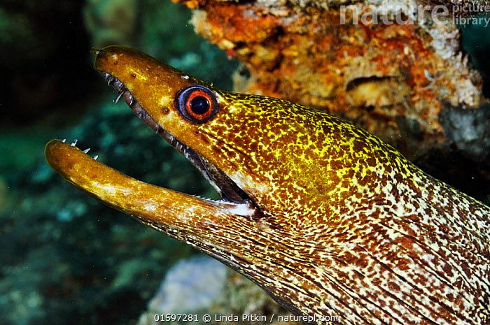 Undulated moray (Gymnothorax undulatus) The Barge wreck, near Bluff Point, Gubal I., Gulf of Suez, Egypt, Red Sea., Animal,Wildlife,Vertebrate,Ray-finned fish,Eel,Moray eel,Honeycomb moray eel,Undulated moray eel,Animalia,Animal,Wildlife,Vertebrate,Actinopterygii,Ray-finned fish,Osteichthyes,Bony fish,Fish,Anguilliformes,Eel,Muraenidae,Moray eel,Gymnothorax,Gymnothorax favagineus,Honeycomb moray eel,Black-blotched moray,Giraffe eel,Laced moray,Reticulated moray,Black blotched moray,Coral eel,Tesselated moray eel,Gymnothorax permistus,Muraena tessellata,Enchelycore favagineus,Gymnothorax undulatus,Undulated moray eel,Leopard moray,Mottled moray,undulate moray,Common hawaiian moray,Muraena cancellata,Lycodontis undulata,Muraenophis undulata,Happiness,Africa,North Africa,Northern Africa,Egypt,Profile,Side View,Portrait,Tropical,Reef,Reefs,Coral Reef,Coral Reefs,Red Sea,Marine,Underwater,Water,Saltwater,Sea,Marine, Linda Pitkin
