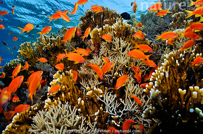 Anthias fish (Pseudanthias squamipinnis), by Fire coral (Millepora dichotoma) and soft coral,  on coral reef, Shark Reef to Jolande Reef, Ras Mohammed National Park, Egypt, Red Sea.  ,  Animal,Wildlife,Cnidarian,Hydrozoan,Athecate hydroid,Fire coral,Vertebrate,Ray-finned fish,Percomorphi,Anthias,Lyretail anthias,Animalia,Animal,Wildlife,Cnidaria,Cnidarian,Coelentrerata,Hydrozoa,Hydrozoan,Hydroid,Anthoathecata,Athecate hydroid,Anthomeduseae,Milleporidae,Fire coral,Vertebrate,Actinopterygii,Ray-finned fish,Osteichthyes,Bony fish,Fish,Perciformes,Percomorphi,Acanthopteri,Serranidae,Pseudanthias,Anthias,Pseudanthias squamipinnis,Lyretail anthias,Scalefin anthias,Anthias cheirospilos,Anthias gibbosus,Anthias squamipinnis,Group Of Animals,School,Group,Africa,North Africa,Northern Africa,Egypt,Tropical,Reef,Reefs,Coral Reef,Coral Reefs,Red Sea,Marine,Underwater,Water,Reserve,Saltwater,Sea,Protected area,National Park,Biodiversity,Anthomedusa,Gymnoblastea,Gymnoblasteae,Invertebrate,Invertebrates,Marine,, catalogue11  ,  Linda Pitkin