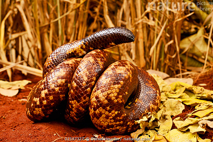 Calabar burrowing boa snake (Calabaria reinhardtii) in defensive ball,  captive, occurs equatorial rain forest of West and central Africa. Head and tail are very similar  ,  Animal,Wildlife,Vertebrate,Reptile,Squamate,Boa,Calabar ground python,Snake,Animalia,Animal,Wildlife,Vertebrate,Reptilia,Reptile,Squamata,Squamate,Boidae,Boa,Boid,Calabaria,Calabaria reinhardtii,Calabar ground python,African Burrowing Python,Charina reinhardtii,Calabaria fusca,Eryx reinhardtii,Africa,Central Africa,West Africa,Animal Behaviour,Defensive,Behaviour,Snake,Snakes,West African,Coiled,Curled up,Defense,Defence,Defending,Behavioural,,, catalogue11  ,  Daniel  Heuclin