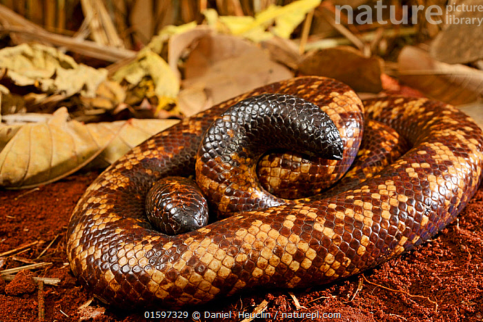 Calabar burrowing boa snake (Calabaria reinhardtii) in defensive ball,  captive, occurs equatorial rain forest of West and central Africa. Head and tail are very similar, Animal,Wildlife,Vertebrate,Reptile,Squamate,Boa,Calabar ground python,Snake,Animalia,Animal,Wildlife,Vertebrate,Reptilia,Reptile,Squamata,Squamate,Boidae,Boa,Boid,Calabaria,Calabaria reinhardtii,Calabar ground python,African Burrowing Python,Charina reinhardtii,Calabaria fusca,Eryx reinhardtii,Africa,Central Africa,West Africa,Animal Behaviour,Defensive,Behaviour,Snake,Snakes,West African,Coiled,Curled up,Defense,Defence,Defending,Behavioural,, Daniel  Heuclin