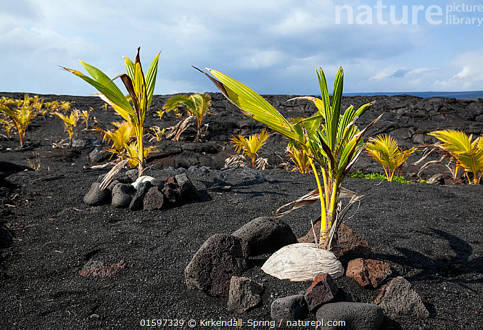 Coconut trees planted in a lava field near Kaimu, Hawaii  ,  Plant,Vascular plant,Flowering plant,Monocot,Palm,Coconut palm,Plantae,Plant,Tracheophyta,Vascular plant,Magnoliopsida,Flowering plant,Angiosperm,Seed plant,Spermatophyte,Spermatophytina,Angiospermae,Arecales,Monocot,Monocotyledon,Lilianae,Arecaceae,Palm,Palm tree,Palmae,Palmaceae,Cocos,Coconut palm,Coconut,Cocos nucifera,Calappa nucifera,Cocos indica,Cocos nana,Growth,Hawaii,Hawaii Islands,Tropical,Lava,Landscape,Geology,Volcanic features,Pacific Islands,Black Lava,Hawai&#39,i,,, catalogue11  ,  Kirkendall-Spring