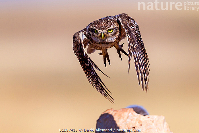 Little owl (Athene noctua) flying, Saragossa, Spain. July. Small repro only  ,  Animal,Wildlife,Vertebrate,Bird,Birds,Owl,Little owl,Animalia,Animal,Wildlife,Vertebrate,Aves,Bird,Birds,Strigiformes,Owl,Bird of prey,Strigidae,Striginae,Athene,Athene noctua,Little owl,Flying,Taking Off,Europe,Southern Europe,Spain,Aragon,Zaragoza,Saragossa,,, catalogue11  ,  David Allemand
