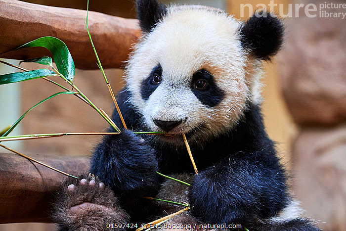 Giant panda (Ailuropoda melanoleuca) cub playfuly chewing a bamboo stick. Yuan Meng, first giant panda ever born in France, is now 10 months old and still feeds on his mother's milk, Captive at Beauval Zoo, Saint Aignan sur Cher, France  ,  Animal,Wildlife,Vertebrate,Mammal,Carnivore,Bear,Giant panda,Animalia,Animal,Wildlife,Vertebrate,Mammalia,Mammal,Carnivora,Carnivore,Ursidae,Bear,Ailuropoda,Ailuropoda melanoleuca,Giant panda,Cute,Adorable,Young Animal,Baby,Baby Mammal,Cub,Zoo,Zoos,Animal Behaviour,Playing,Conservation,Captive breeding,Species recovery programs,Wildlife conservation,Breeding Program,Endangered species,threatened,Endangered  ,  Eric Baccega