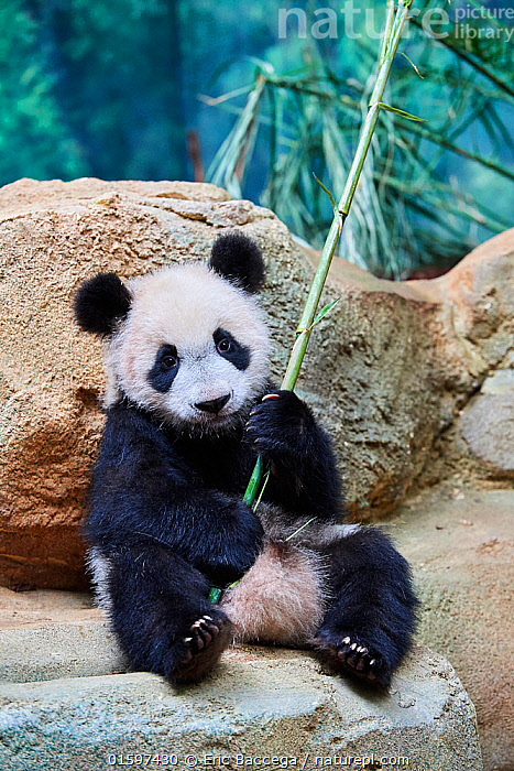 Giant panda (Ailuropoda melanoleuca) cub playfuly chewing a bamboo stick. Yuan Meng, first giant panda ever born in France, is now 10 months old and still feeds on his mother's milk, Captive at Beauval Zoo, Saint Aignan sur Cher, France  ,  Animal,Wildlife,Vertebrate,Mammal,Carnivore,Bear,Giant panda,Animalia,Animal,Wildlife,Vertebrate,Mammalia,Mammal,Carnivora,Carnivore,Ursidae,Bear,Ailuropoda,Ailuropoda melanoleuca,Giant panda,Cute,Adorable,Young Animal,Baby,Baby Mammal,Cub,Zoo,Zoos,Animal Behaviour,Playing,Conservation,Captive breeding,Species recovery programs,Wildlife conservation,Breeding Program,Endangered species,threatened,Endangered,, catalogue11  ,  Eric Baccega