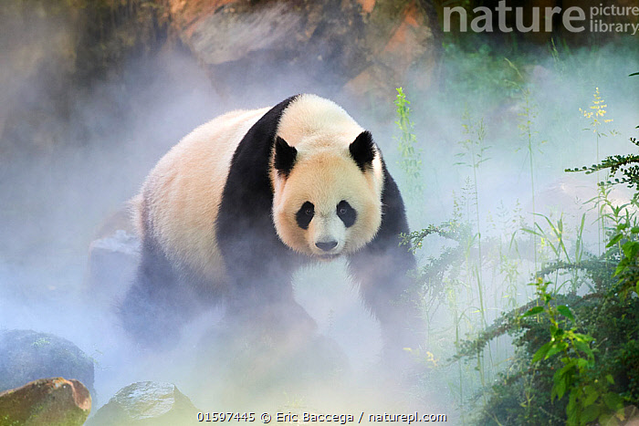 Giant panda (Ailuropoda melanoleuca) female, Huan Huan, out in her enclosure in mist, Captive at Beauval Zoo, Saint Aignan sur Cher, France  The mist is created artificially by machine, in order to create a cooler environment, closer to the conditions in their natural mountain habitat in China.  ,  Animal,Wildlife,Vertebrate,Mammal,Carnivore,Bear,Giant panda,Animalia,Animal,Wildlife,Vertebrate,Mammalia,Mammal,Carnivora,Carnivore,Ursidae,Bear,Ailuropoda,Ailuropoda melanoleuca,Giant panda,Morning,Mornings,Female animal,Zoo,Zoos,Mist,Beautiful,Conservation,Captive breeding,Species recovery programs,Wildlife conservation,Breeding Program,Endangered species,threatened,Endangered,, catalogue11  ,  Eric Baccega