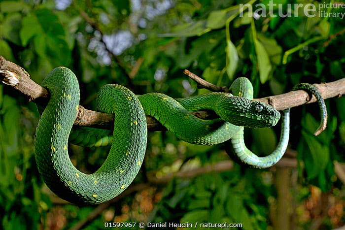West African tree viper (Atheris chlorechis) on branch Togo. Controlled conditions  ,  Animal,Wildlife,Vertebrate,Reptile,Squamate,Viper,Green bush viper,Animalia,Animal,Wildlife,Vertebrate,Reptilia,Reptile,Squamata,Squamate,Viperidae,Viper,Viperid snakes,Snake,Atheris,Atheris chloroechis,Green bush viper,Vipera chloroechis,Toxicoa chloroechi,Colour,Green,Africa,West Africa,Togo,Togolese Republic,Plant,Branch,Branches,Scale,Animal Scale,Scaly,West African,Venomous,, catalogue11  ,  Daniel  Heuclin