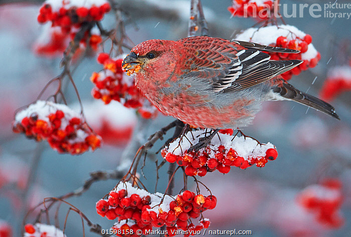 Pine Grosbeak male  (Pinicola enucleator)and traffic light Oulu, Finland, December  ,  Animal,Wildlife,Vertebrate,Bird,Birds,Songbird,True finch,Pine grosbeak,Animalia,Animal,Wildlife,Vertebrate,Aves,Bird,Birds,Passeriformes,Songbird,Passerine,Fringillidae,True finch,Finch,Pinicola,Pine grosbeak,Cardueline finch,Carduelinae,Pinicola enucleator,Pine rosefinch,Loxia enucleator,Temperature,Cold,Europe,Northern Europe,North Europe,Nordic Countries,Finland,Male Animal,Plant,Berry,Snow,Winter,Fruit,,, catalogue11  ,  Markus Varesvuo