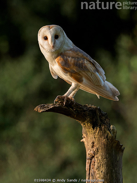 RF - Barn owl (Tyto alba) Perched on dead tree in evening light, Bedfordshire, England, UK, July (This image may be licensed either as rights managed or royalty free.)  ,  Animal,Wildlife,Vertebrate,Bird,Birds,Owl,Barn owl,Animalia,Animal,Wildlife,Vertebrate,Aves,Bird,Birds,Strigiformes,Owl,Bird of prey,Tytonidae,Tyto,Tyto alba,Barn owl,Western barn owl,Common barn owl,Nobody,Europe,Western Europe,UK,Great Britain,England,Bedfordshire,Outdoors,Direct Gaze,RF,Royalty free,RF4,  ,  Andy Sands