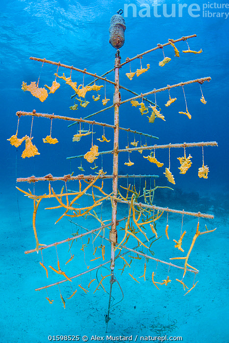 Fragments of Elkhorn coral (Acropora palmata) and Staghorn coral (Acropora cervicornisgrowing) hung on coral propagation tree, as part of a coral conservation nursery project. East End, Grand Cayman. Cayman Islands, British West Indies. Caribbean Sea.  ,  Animal,Wildlife,Cnidarian,Anthrozoan,Hard coral,Coral,Acropora coral,Elkhorn coral,Animalia,Animal,Wildlife,Cnidaria,Cnidarian,Coelentrerata,Anthozoa,Anthrozoan,Scleractinia,Hard coral,Acroporidae,Coral,Acropora,Acropora coral,Acropora palmata,Elkhorn coral,Growth,The Caribbean,Cayman Islands,Tropical,Reef,Reefs,Coral Reef,Coral Reefs,Ocean,Caribbean Sea,Marine,Underwater,Water,Conservation,Saltwater,Biodiversity hotspots,Grand Cayman,Artificial reef,East End,Propagation,Invertebrate,Invertebrates,Marine,Endangered species,threatened,Critically endangered,, catalogue11  ,  Alex Mustard