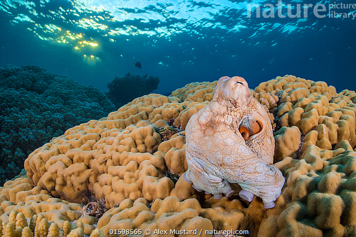 Reef octopus (Octopus cyanea) emerges from its den in a hole in a large hard coral (Porites sp.) at sunset. Sha'ab Mahmood, Sinai, Egypt. Red Sea  ,  Animal,Wildlife,Cnidarian,Anthrozoan,Hard coral,Coral,Finger coral,Mollusc,Cepahlopod,Octopus,Common reef octopus,Animalia,Animal,Wildlife,Cnidaria,Cnidarian,Coelentrerata,Anthozoa,Anthrozoan,Scleractinia,Hard coral,Poritidae,Coral,Porites,Finger coral,Mollusca,Mollusc,Cephalopoda,Cepahlopod,Octopoda,Octopus,Octopodidae,Octopus cyanea,Common reef octopus,Callistoctopus magnocellatus,octopus glaber,Octopus herdmani,Camouflage,Africa,North Africa,Northern Africa,Egypt,Tropical,Reef,Reefs,Coral Reef,Coral Reefs,Red Sea,Nature,Marine Life,Sea Life,Marine,Underwater,Water,Saltwater,Sea,Sinai,Sha&#39,ab Mahmood,Invertebrate,Invertebrates,Marine,, catalogue11  ,  Alex Mustard
