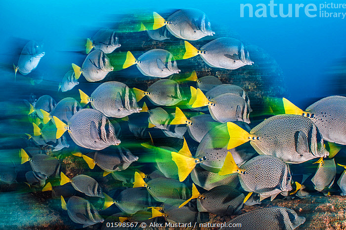 RF - Long exposure of a school of yellowtail surgeonfish (Prionurus punctatus), these fish school to help them access the best feeding areas, which are controlled by aggressive damselfish. Los Islotes, La Paz, Baja California Sur, Mexico. Sea of Cortez, Gulf of California, East Pacific Ocean. (This image may be licensed either as rights managed or royalty free.)  ,  Animal,Wildlife,Vertebrate,Ray-finned fish,Percomorphi,Surgeonfish,Yellowtail surgeonfish,Animalia,Animal,Wildlife,Vertebrate,Actinopterygii,Ray-finned fish,Osteichthyes,Bony fish,Fish,Perciformes,Percomorphi,Acanthopteri,Acanthuridae,Surgeonfish,Tang,Unicornfish,Prionurus,Direction,Group Of Animals,School,Group,Large Group,Latin America,Central America,Mexico,Ocean,Pacific Ocean,Nature,Marine Life,Sea Life,Marine,Underwater,Water,Temperate,Saltwater,Sea,Gulf of California,Purpose,Baja California Sur,Baja California Peninsula,La Paz,Prionurus punctatus,Yellowtail surgeonfish,Los Islotes,RF,Royalty free,RF3,Marine,,RF3,,RF,  ,  Alex Mustard