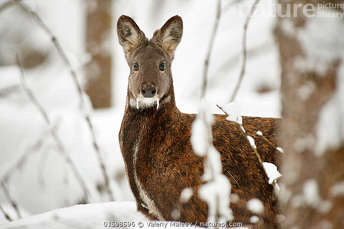 Siberian musk deer (Moschus moschiferus) male in snow, Irkutsk, Russia. January.  ,  Animal,Wildlife,Vertebrate,Mammal,Musk deer,Siberian Musk Deer,Animalia,Animal,Wildlife,Vertebrate,Mammalia,Mammal,Artiodactyla,Even-toed ungulates,Moschidae,Musk deer,ruminantia,Ruminant,Moschus,Moschus moschiferus,Siberian Musk Deer,Temperature,Cold,Russia,Male Animal,Snow,Winter,Endangered species,threatened,Vulnerable,, catalogue11  ,  Valeriy Maleev