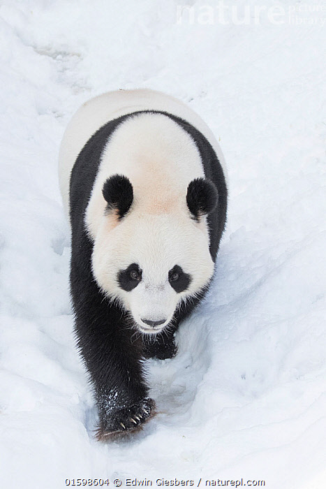 RF - Giant panda (Ailuropoda melanoleuca) in snow, captive. (This image may be licensed either as rights managed or royalty free.)  ,  Animal,Wildlife,Vertebrate,Mammal,Carnivore,Bear,Giant panda,Animalia,Animal,Wildlife,Vertebrate,Mammalia,Mammal,Carnivora,Carnivore,Ursidae,Bear,Ailuropoda,Ailuropoda melanoleuca,Giant panda,Walking,Journey,Colour,Nobody,Temperature,Cold,Asia,East Asia,China,Snow,Outdoors,Winter,Day,Nature,Moving,Movement,Black and white,Endangered species,threatened,Endangered,RF,RF3,,RF3,,RF  ,  Edwin Giesbers