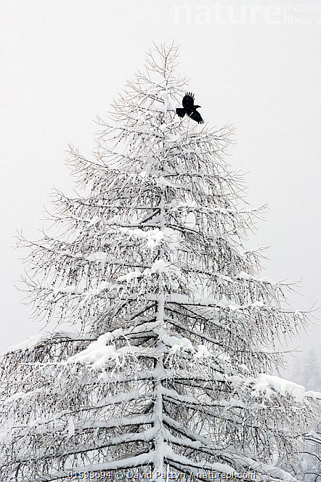 RF- Carrion crow (Corvus corone) flying from a snow covered pine tree in a winter landscape. Valsavarenche, Gran Paradiso NP, Italy, March. (This image may be licensed either as rights managed or royalty free.)  ,  Animal,Wildlife,Vertebrate,Bird,Birds,Songbird,Crow,Carrion crow,Animalia,Animal,Wildlife,Vertebrate,Aves,Bird,Birds,Passeriformes,Songbird,Passerine,Corvidae,Corvid,Corvus,Crow,Corvus corone,Carrion crow,Common crow,Eurasian crow,Flying,Colour,White,Temperature,Cold,Europe,Southern Europe,Italy,Plant,Tree,Snow,Weather,Winter,Bad Weather,Reserve,Severe weather,Protected area,National Park,Gran Paradiso National Park,RF,Royalty free,RF3,,,RF3,,RF,  ,  David  Pattyn