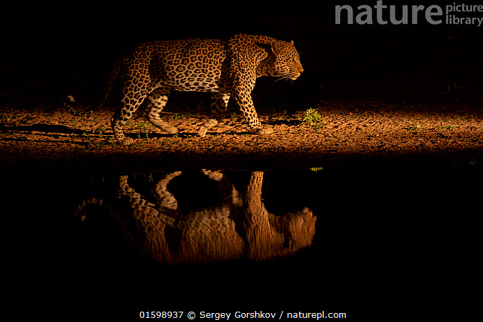 Leopard (Panthera pardus) walking beside waterhole, reflected in the water at dusk. Londolozi Private Game Reserve, Sabi Sands Game Reserve, South Africa.  ,  Animal,Wildlife,Vertebrate,Mammal,Carnivore,Cat,Big cat,Leopard,Animalia,Animal,Wildlife,Vertebrate,Mammalia,Mammal,Carnivora,Carnivore,Felidae,Cat,Panthera,Big cat,Panthera pardus,Leopards,Africa,Southern Africa,South Africa,Reflection,Water Hole,Water Holes,Freshwater,Water,Arty shots,Leopard,Dusk,South African,Sabi Sands Game Reserve,Endagered species,Threatened,Vulnerable,, catalogue11  ,  Sergey  Gorshkov