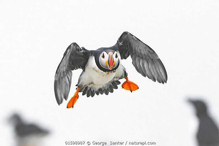 Atlantic puffin (Fratercula arctica)  in flight, Machias Seal Island off the coast of Maine, USA, July., Animal,Wildlife,Vertebrate,Bird,Birds,Auk,Puffin,Atlantic puffin,American,Animalia,Animal,Wildlife,Vertebrate,Aves,Bird,Birds,Charadriiformes,Alcidae,Auk,Seabird,Fratercula,Puffin,Fratercula arctica,Atlantic puffin,Common puffin,Flying,Landing,North America,USA,Eastern USA,New England,Maine,Plain Background,White Background,Front View,Bookplate,Acadia National Park,American,United States of America,Acadia Wildlife,Seabird,Seabirds, George  Sanker