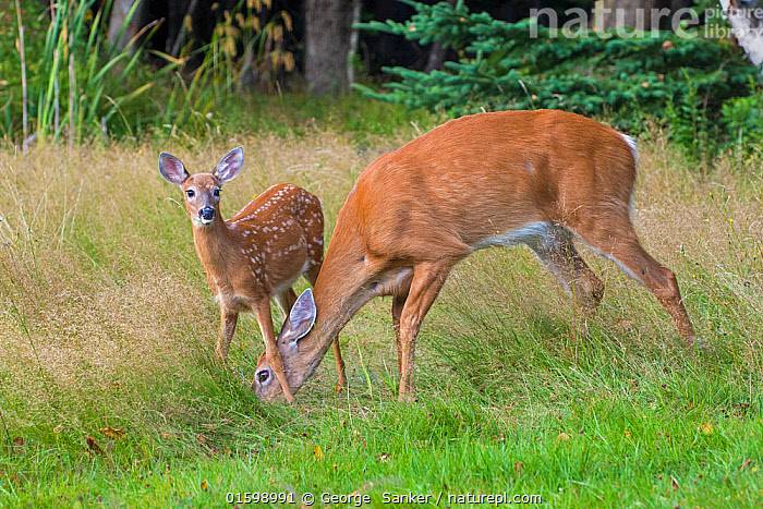 White-tailed Deer (Odocoileus virginianus) mother and fawn, Acadia National Park, Maine, USA. August., Animal,Wildlife,Vertebrate,Mammal,Deer,Key Deer,American,Animalia,Animal,Wildlife,Vertebrate,Mammalia,Mammal,Artiodactyla,Even-toed ungulates,Cervidae,Deer,True deer,ruminantia,Ruminant,Odocoileus,Odocoileus virginianus,Key Deer,White-tailed Deer,Foraging,North America,USA,Eastern USA,New England,Maine,Young Animal,Baby,Baby Mammal,Fawn,Female animal,Doe,Does,Reserve,Protected area,National Park,Bookplate,Acadia National Park,Hind,Hinds,American,United States of America,Acadia Wildlife,, George  Sanker