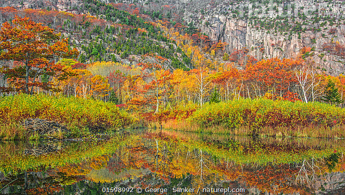 Beaver pond with beaver lodge (on the left side) and trees reflected in autumn. Acadia National Park, Maine, USA. October., Animal,Wildlife,Vertebrate,Mammal,Rodent,Beaver,American beaver,Homes,American,Animalia,Animal,Wildlife,Vertebrate,Mammalia,Mammal,Rodentia,Rodent,Castoridae,Castor,Beaver,Castor canadensis,American beaver,Mood,Calm,Morning,Mornings,North America,USA,Eastern USA,New England,Maine,Plant,Tree,Cliff,Reflection,Autumn,Freshwater,Pond,Water,Reserve,Homes,Protected area,National Park,Bookplate,Acadia National Park,American,Beaver lodge,United States of America,Acadia Wildlife,, George  Sanker