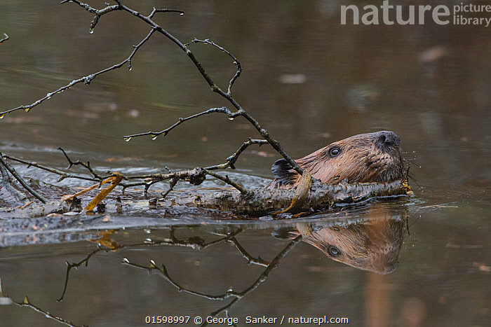 North American beaver (Castor canadensis) swimming carrying branch to build with. Acadia National Park, Maine, USA. May., Animal,Wildlife,Vertebrate,Mammal,Rodent,Beaver,American beaver,Homes,American,Animalia,Animal,Wildlife,Vertebrate,Mammalia,Mammal,Rodentia,Rodent,Castoridae,Castor,Beaver,Castor canadensis,American beaver,Swimming,North America,USA,Eastern USA,New England,Maine,Plant,Branch,Branches,Stick,Freshwater,Water,Reserve,Homes,Beaver dam,Protected area,National Park,Bookplate,Acadia National Park,American,Beaver lodge,United States of America,Acadia Wildlife,, George  Sanker