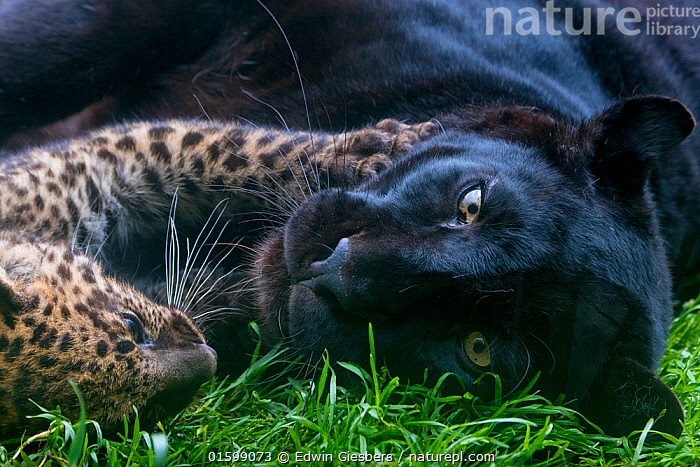 Black panther / melanistic Leopard (Panthera pardus) female resting with normal spotted cub, captive., Animal,Wildlife,Vertebrate,Mammal,Carnivore,Cat,Big cat,Leopard,Animalia,Animal,Wildlife,Vertebrate,Mammalia,Mammal,Carnivora,Carnivore,Felidae,Cat,Panthera,Big cat,Panthera pardus,Leopards,Resting,Rest,Affectionate,Affection,Hugging,Young Animal,Baby,Baby Mammal,Cub,Female animal,Leopard,Family,Mother baby,Melanism,Mother,Colour morphs,Direct Gaze,Parent baby,Black panther,Melanistic,Black,Endagered species,Threatened,Vulnerable, Edwin Giesbers