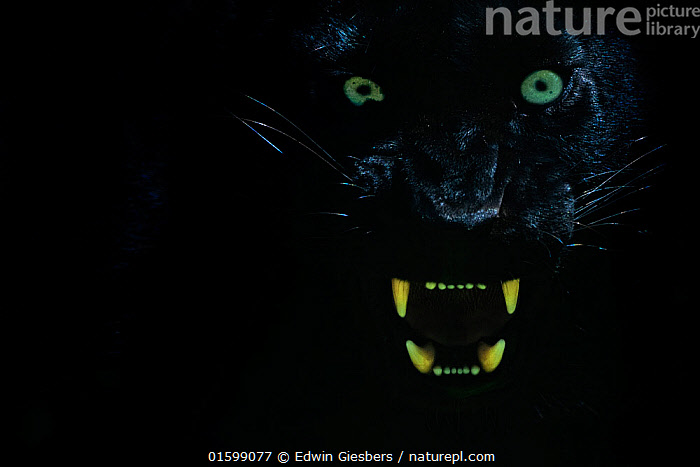Black panther / melanistic Leopard (Panthera pardus) baring teeth, captive., Animal,Wildlife,Vertebrate,Mammal,Carnivore,Cat,Big cat,Leopard,Animalia,Animal,Wildlife,Vertebrate,Mammalia,Mammal,Carnivora,Carnivore,Felidae,Cat,Panthera,Big cat,Panthera pardus,Leopards,Scare,Scary,Mystery,Colour,Black,Dark,Female animal,Animal Eye,Eyes,Leopard,Melanism,Colour morphs,Direct Gaze,Black panther,Melanistic,Black,Endagered species,Threatened,Vulnerable, Edwin Giesbers