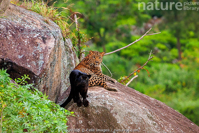 Leopard (Panthera pardus) spotted male with melanistic female resting on rocks,  Tamil Nadu, Western Ghats,  India., Animal,Wildlife,Vertebrate,Mammal,Carnivore,Cat,Big cat,Leopard,Animalia,Animal,Wildlife,Vertebrate,Mammalia,Mammal,Carnivora,Carnivore,Felidae,Cat,Panthera,Big cat,Panthera pardus,Leopards,Resting,Rest,Comparison,Juxtaposition,Two,Asia,Indian Subcontinent,India,Habitat,Forest,Leopard,Melanism,Colour morphs,Protected area,Biodiversity hotspot,Western Ghats,Biodiversity hotspots,Outcrop,Black panther,Melanistic,Black,Endagered species,Threatened,Vulnerable, Felis Images