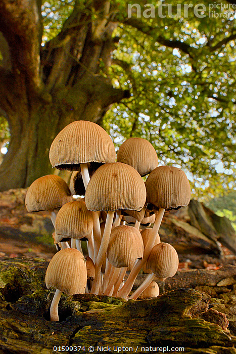 Glistening inkcap (Coprinellus / Coprinus miceus) clump growing on a rotting log under a tree, Wiltshire, UK, September., Cluster,Clusters,Decomposition,Decaying,Colour,Brown,Group,Europe,Western Europe,UK,Great Britain,England,Vertical,Plant,Log,Logs,Autumn,Woodland,Forest,Fungus,Fungi,Mushroom,, Nick Upton