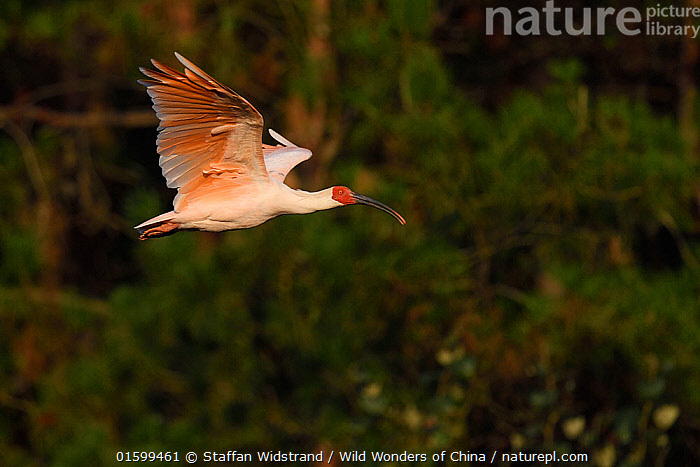 Crested ibis (Nipponia nippon) flying in evening light, Yangxian Nature Reserve, Shaanxi, China. Endangered species.  September, Animal,Wildlife,Vertebrate,Bird,Birds,Ibis,Japanese crested ibis,Animalia,Animal,Wildlife,Vertebrate,Aves,Bird,Birds,Pelecaniformes,Threskiornithidae,Nipponia,Ibis,Ibe,Ibide,Threskiornithinae,Nipponia nippon,Japanese crested ibis,Crested ibis,Japanese ibis,Japanese white ibis,Oriental crested ibis,Oriental ibis,Flying,Asia,East Asia,China,Profile,Side View,Reserve,Protected area,Endangered species,threatened,Endangered, Staffan Widstrand / Wild Wonders of China