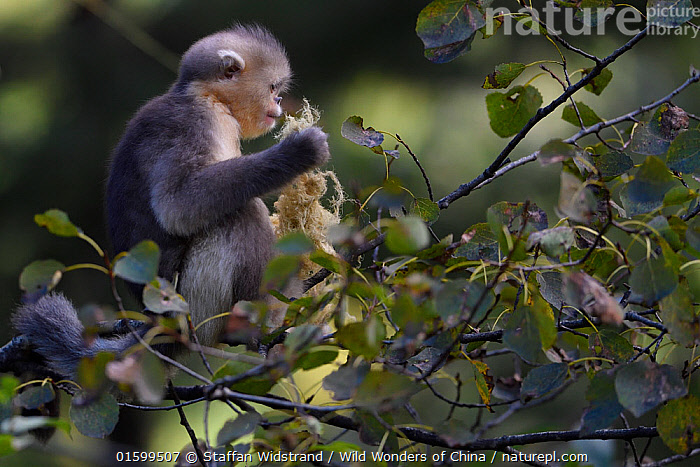Yunnan snub-nosed monkey (Rhinopithecus bieti) young feeding on lichen in  tree at Ta Cheng Nature Reserve, Yunnan, China, October., Animal,Wildlife,Vertebrate,Mammal,Monkey,Snub nosed monkeys,Black Snub-nosed Monkey,Animalia,Animal,Wildlife,Vertebrate,Mammalia,Mammal,Primate,Primates,Cercopithecidae,Monkey,Old World Monkeys,Rhinopithecus,Snub nosed monkeys,Rhinopithecus bieti,Black Snub-nosed Monkey,Yunnan Snub-nosed Monkey,Asia,East Asia,China,Reserve,Protected area,Yunnan Province,Endangered species,threatened,Endangered, Staffan Widstrand / Wild Wonders of China