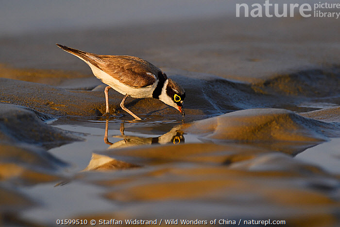 Little ringed plover (Charadrius dubius) walking on wet sand, Tongbiguan Nature Reserve, Dehong Prefecture, Yunnan province, China, May.  ,  Animal,Wildlife,Vertebrate,Bird,Birds,Wader,Ringed plover,Little ringed plover,Animalia,Animal,Wildlife,Vertebrate,Aves,Bird,Birds,Charadriiformes,Charadriidae,Wader,Shorebird,Charadrius,Ringed plover,Plover,True plover,Charadriinae,Charadrius dubius,Little ringed plover,Asia,East Asia,China,Profile,Side View,Sands,Coast,Coastal,Reserve,Protected area,Yunnan Province,  ,  Staffan Widstrand / Wild Wonders of China