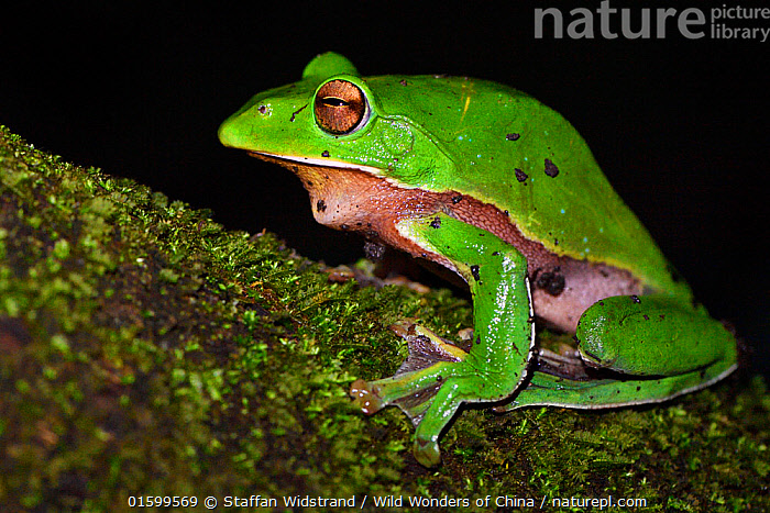 Giant tree frog (Rhacophorus maximus) sitting on a branch with black background,  Tongbiguan Nature Reserve, Dehong Prefecture, Yunnan province, China, May.  ,  Animal,Wildlife,Vertebrate,Frog,Shrub frog,Animalia,Animal,Wildlife,Vertebrate,Amphibia,Anura,Frog,Rhacophoridae,Shrub frog,Tree frog,Rhacophorus,Rhacophorus maximus,Rhacophorus gigas,Colour,Green,Asia,East Asia,China,Profile,Side View,Reserve,Protected area,Yunnan Province,Amphibian,  ,  Staffan Widstrand / Wild Wonders of China