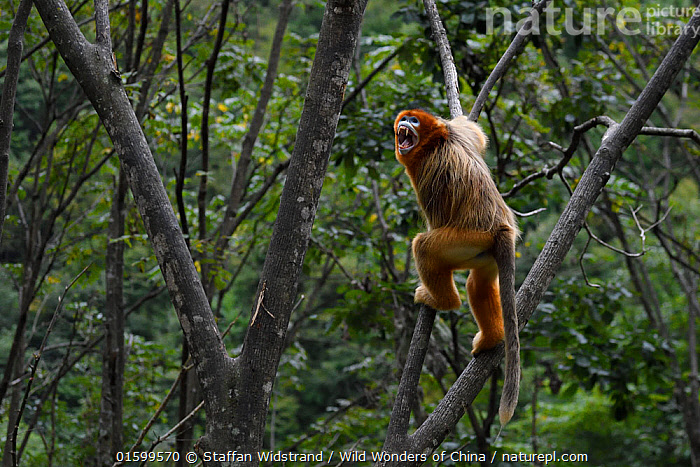 Sichuan golden snub-nosed monkey (Rhinopithecus roxellana)  screaming to  show authority, climbing on trees in Yangxian Nature Reserve, Shaanxi, China. September., Animal,Wildlife,Vertebrate,Mammal,Monkey,Snub nosed monkeys,Golden Snub-nosed Monkey,Animalia,Animal,Wildlife,Vertebrate,Mammalia,Mammal,Primate,Primates,Cercopithecidae,Monkey,Old World Monkeys,Rhinopithecus,Snub nosed monkeys,Rhinopithecus roxellana,Golden Snub-nosed Monkey,Sichuan Golden Snub-nosed Monkey,Asia,East Asia,China,Reserve,Protected area,Endangered species,threatened,Endangered, Staffan Widstrand / Wild Wonders of China