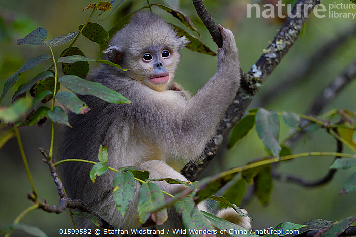 Yunnan snub-nosed monkey (Rhinopithecus bieti) young / juvenile  in tree in Ta Cheng Nature Reserve, Yunnan, China, October., Animal,Wildlife,Vertebrate,Mammal,Monkey,Snub nosed monkeys,Black Snub-nosed Monkey,Animalia,Animal,Wildlife,Vertebrate,Mammalia,Mammal,Primate,Primates,Cercopithecidae,Monkey,Old World Monkeys,Rhinopithecus,Snub nosed monkeys,Rhinopithecus bieti,Black Snub-nosed Monkey,Yunnan Snub-nosed Monkey,Asia,East Asia,China,Reserve,Protected area,Yunnan Province,Endangered species,threatened,Endangered,, catalogue11, Staffan Widstrand / Wild Wonders of China