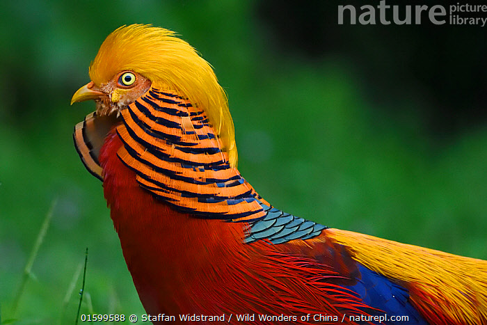 Golden pheasant (Chrysolophus pictus) male displaying in grass in Yangxian Nature Reserve, Shaanxi, China, September.  ,  Animal,Wildlife,Vertebrate,Bird,Birds,Pheasant,Golden pheasant,Animalia,Animal,Wildlife,Vertebrate,Aves,Bird,Birds,Galliformes,Galliforms,Galloanserae,Phasianidae,Chrysolophus,Pheasant,Phasianinae,Chrysolophus pictus,Golden pheasant,Colour,Orange,Asia,East Asia,China,Portrait,Male Animal,Reserve,Protected area,Gamebird,Gamebirds,Game bird,, catalogue11  ,  Staffan Widstrand / Wild Wonders of China