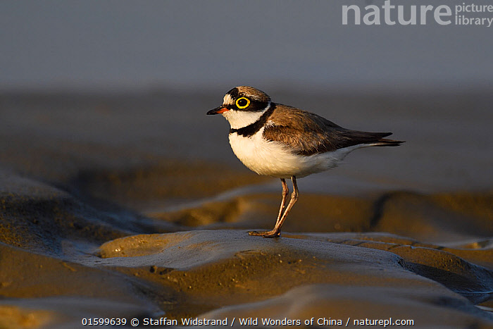 Little ringed plover (Charadrius dubius) walking on wet sand at Tongbiguan Nature Reserve, Dehong prefecture, Yunnan province, China, May.  ,  Animal,Wildlife,Vertebrate,Bird,Birds,Wader,Ringed plover,Little ringed plover,Animalia,Animal,Wildlife,Vertebrate,Aves,Bird,Birds,Charadriiformes,Charadriidae,Wader,Shorebird,Charadrius,Ringed plover,Plover,True plover,Charadriinae,Charadrius dubius,Little ringed plover,Asia,East Asia,China,Profile,Side View,Sands,Reserve,Protected area,Yunnan Province,  ,  Staffan Widstrand / Wild Wonders of China