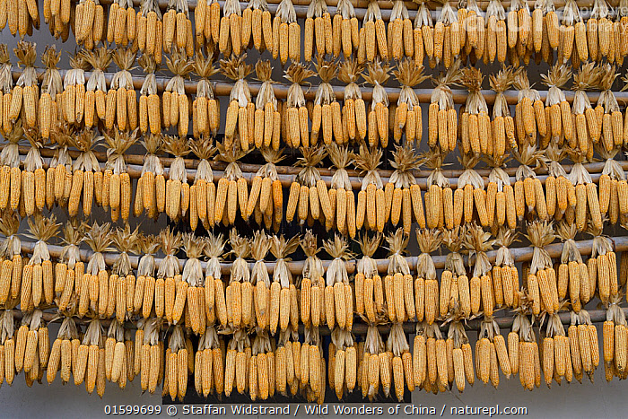 Newly harvested corn / maize cobs, hung up to dry, Yangxian Nature Reserve, Shaanxi, China, September 2017., Asia,East Asia,China,Plant,Crops,Produce,Cultivated,Food,Grain,Grains,Corn,Maize,Reserve,Preservation,Protected area,Zea mays,, Staffan Widstrand / Wild Wonders of China