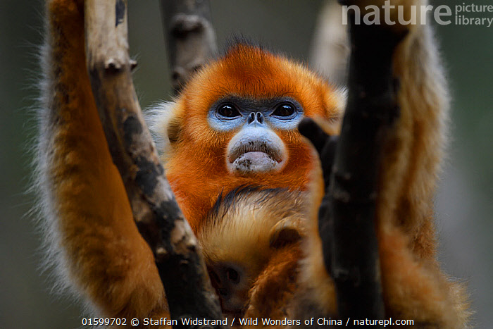 Portrait of a Sichuan golden snub-nosed monkey (Rhinopithecus roxellana) female and baby, at the Yangxian Nature Reserve, Shaanxi, China, September., Animal,Wildlife,Vertebrate,Mammal,Monkey,Snub nosed monkeys,Golden Snub-nosed Monkey,Animalia,Animal,Wildlife,Vertebrate,Mammalia,Mammal,Primate,Primates,Cercopithecidae,Monkey,Old World Monkeys,Rhinopithecus,Snub nosed monkeys,Rhinopithecus roxellana,Golden Snub-nosed Monkey,Sichuan Golden Snub-nosed Monkey,Asia,East Asia,China,Portrait,Reserve,Family,Mother baby,Mother,Protected area,Fed up,Parent baby,Endangered species,threatened,Endangered, Staffan Widstrand / Wild Wonders of China