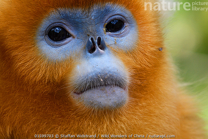 Portrait of a Sichuan golden snub-nosed monkey (Rhinopithecus roxellana) at the Yangxian Nature Reserve, Shaanxi, China, September., Animal,Wildlife,Vertebrate,Mammal,Monkey,Snub nosed monkeys,Golden Snub-nosed Monkey,Animalia,Animal,Wildlife,Vertebrate,Mammalia,Mammal,Primate,Primates,Cercopithecidae,Monkey,Old World Monkeys,Rhinopithecus,Snub nosed monkeys,Rhinopithecus roxellana,Golden Snub-nosed Monkey,Sichuan Golden Snub-nosed Monkey,Asia,East Asia,China,Close Up,Portrait,Reserve,Protected area,Endangered species,threatened,Endangered, Staffan Widstrand / Wild Wonders of China