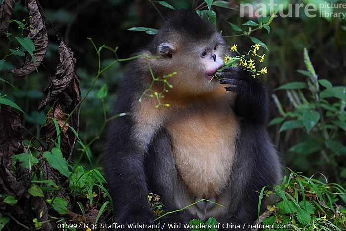 Yunnan snub-nosed monkey (Rhinopithecus bieti) feeding in a tree at Ta Cheng Nature reserve, Yunnan, China. October, Animal,Wildlife,Vertebrate,Mammal,Monkey,Snub nosed monkeys,Black Snub-nosed Monkey,Animalia,Animal,Wildlife,Vertebrate,Mammalia,Mammal,Primate,Primates,Cercopithecidae,Monkey,Old World Monkeys,Rhinopithecus,Snub nosed monkeys,Rhinopithecus bieti,Black Snub-nosed Monkey,Yunnan Snub-nosed Monkey,Asia,East Asia,China,Feeding,Reserve,Protected area,Yunnan Province,Endangered species,threatened,Endangered, Staffan Widstrand / Wild Wonders of China