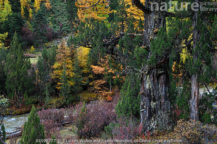 Autumn trees and habitat in  UNESCO World Heritage Site 'Three Parallel Rivers', Baima Snow Mountain Nature reserve, Yunnan, China, October 2017., Asia,East Asia,China,Back Lit,Plant,Tree,Mountain,Autumn,Reserve,Silhouette,Protected area,Yunnan Province,, Staffan Widstrand / Wild Wonders of China