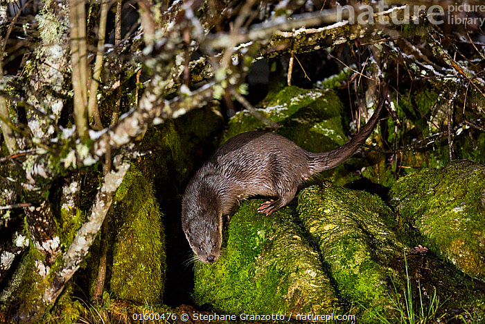 European otter (Lutra lutra) on rocks, France  ,  Animal,Wildlife,Vertebrate,Mammal,Carnivore,Mustelid,River otter,Common Otter,Animalia,Animal,Wildlife,Vertebrate,Mammalia,Mammal,Carnivora,Carnivore,Mustelidae,Mustelid,Lutra,River otter,Lutra lutra,Common Otter,Eurasian Otter,European Otter,European River Otter,Old World Otter,Europe,Western Europe,France,Rock,Flowing Water,River,Freshwater,Water,  ,  Stephane Granzotto
