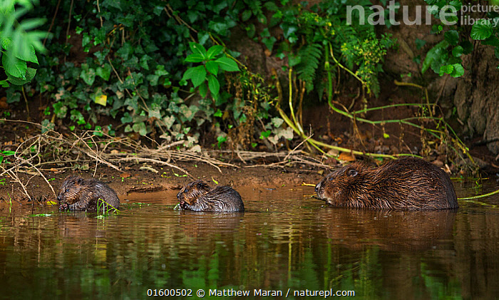 Beaver (Castor fibre) female feeding on willow bark with her two kits, River Otter, Devon, England, UK, July. Highly commended in the Habitat category of the British Wildlife Photography Awards (BWPA) Competition 2018.  ,  Animal,Wildlife,Vertebrate,Mammal,Rodent,Beaver,Eurasian beaver,Animalia,Animal,Wildlife,Vertebrate,Mammalia,Mammal,Rodentia,Rodent,Castoridae,Castor,Beaver,Castor fiber,Eurasian beaver,Europe,Western Europe,UK,Great Britain,England,Devon,Young Animal,Baby,Family,Mother baby,Mother,Parent baby,,, catalogue11  ,  Matthew Maran