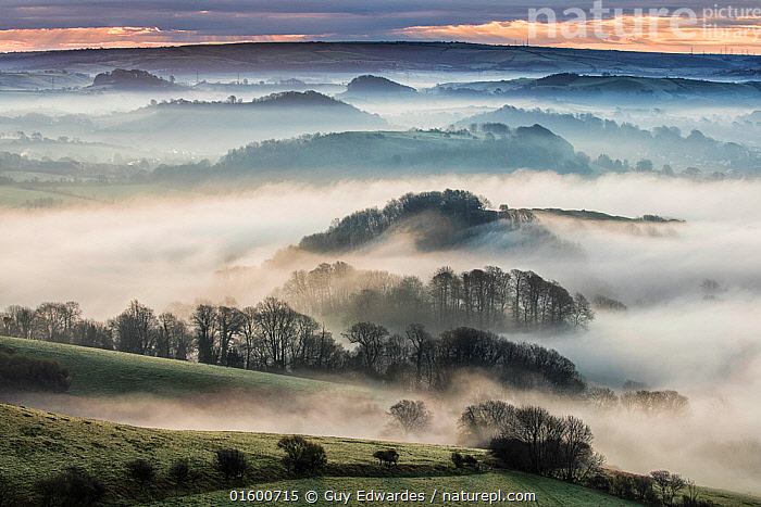 View from Colmer's Hill over countryside with  low lying mist, Bridport, Dorset, England, UK. April 2016., Morning,Mornings,Distant,Europe,Western Europe,UK,Great Britain,England,Dorset,Back Lit,Plant,Hedgerows,Hedgerow,Hedge,Hedges,Tree,Horizon,Agricultural Land,Cultivated Land,Field,Hill,Mist,Landscape,Countryside,Silhouette,Farmland,Dawn,Colmer&#39,s Hill,Colmers Hill,, Guy Edwardes