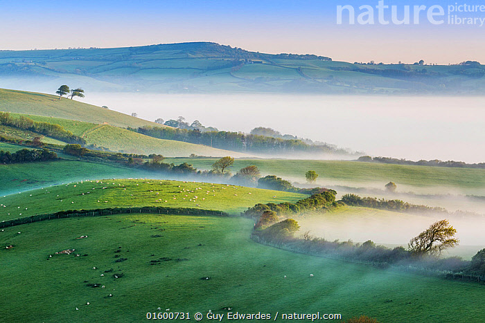 Pilsdon Pen and Marshwood Vale in morning mist, Quarr Hill, Dorset, England, UK. May 2014., Morning,Mornings,Europe,Western Europe,UK,Great Britain,England,Dorset,Animal,Plant,Hedgerows,Hedgerow,Hedge,Hedges,Tree,Agricultural Land,Cultivated Land,Field,Pasture,Pastures,Mist,Landscape,Livestock,Countryside,Grassland,Domestic animal,Domestic Sheep,Farmland,Domesticated,Ovis aries,Dawn,Sheep,Mammal,, Guy Edwardes