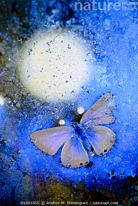 Blue butterfly (Lycaenidae) frozen in ice,  Cortes de la Frontera,  Los Alcornocales Natural Park. Spain. Highly commended in the Other animals category of the GDT European Wildlife Photographer of the Year Awards 2018.  ,  Animal,Wildlife,Arthropod,Insect,Gossamer winged butterfly,Animalia,Animal,Wildlife,Hexapoda,Arthropod,Invertebrate,Hexapod,Arthropoda,Insecta,Insect,Lepidoptera,Lepidopterans,Lycaenidae,Gossamer winged butterfly,Lycaenid,Butterfly,Papilionoidea,Frozen,Colour,Blue,Temperature,Cold,Europe,Southern Europe,Spain,Ice,Winter,Reserve,Arty shots,Iridescent,Iridescence,Protected area,Natural Park,,, catalogue11  ,  Andres M. Dominguez