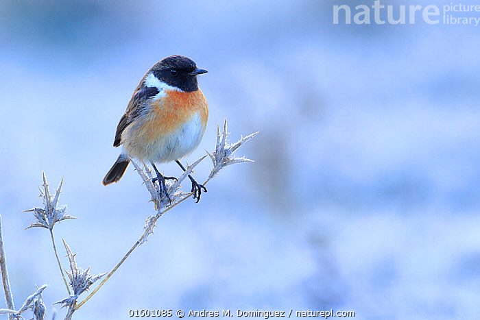 Common stonechat (Saxicola torquata) on frozen and dry thistle. Sierra de Grazalema Natural Park, southern Spain, January., Animal,Wildlife,Vertebrate,Bird,Birds,Songbird,Old world flycatcher,Chat,Stonechat,Animalia,Animal,Wildlife,Vertebrate,Aves,Bird,Birds,Passeriformes,Songbird,Passerine,Muscicapidae,Old world flycatcher,Flycatcher,Saxicola,Chat,Chat thrush,Saxicolinae,Saxicola rubicola,Stonechat,Common stonechat,Collared bush chat,Saxicola torquata,Europe,Southern Europe,Spain,Andalusia,Plant,Sunflower Family,Thistle,Thistles,Snow,Winter,Reserve,Protected area,Natural Park,, Andres M. Dominguez